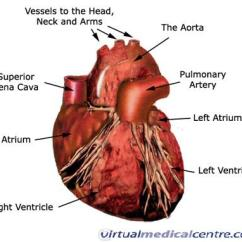 Human Vascular Anatomy Diagram Epiphone Es 335 Pro Wiring Of The Heart And Cardiovascular System Myvmc
