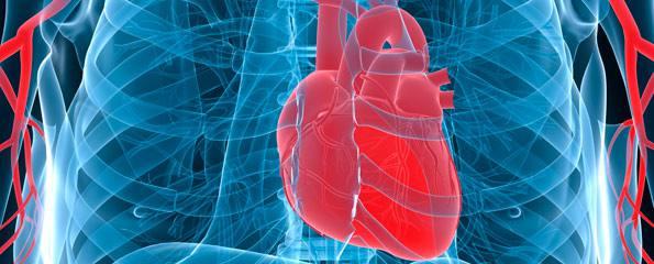 Cardiovascular Disease Diagram Anatomy Of The Human Heart And Cardiovascular System Myvmc