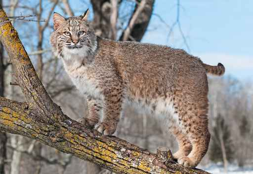 Bobcat (Lynx rufus) Stands on Branch_1556151881952