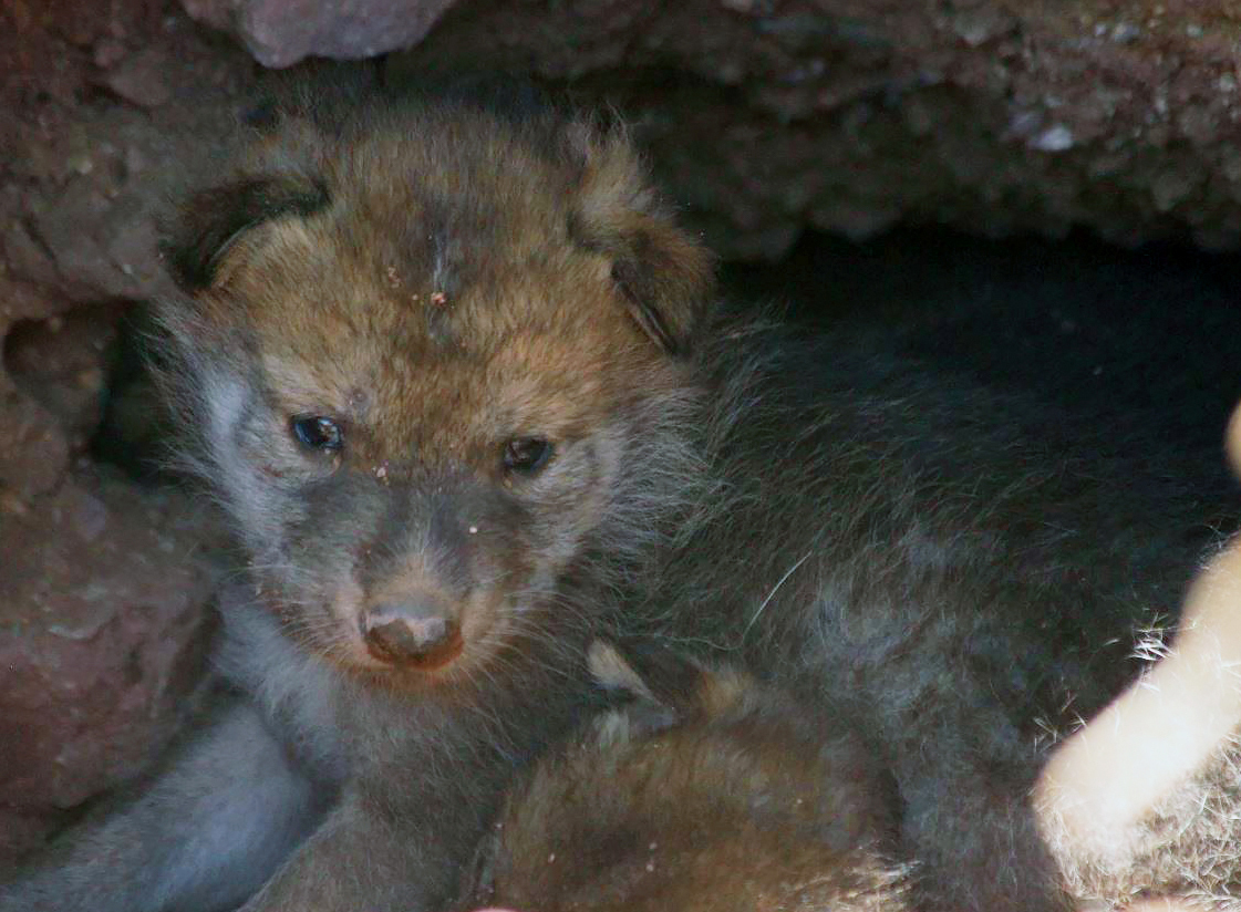 Mexican_Gray_Wolf_Pups_08586-159532.jpg57441880