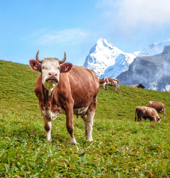 Gimmelwald, Switzerland | Hiking in the Swiss Alps | Murren | mountains | cows