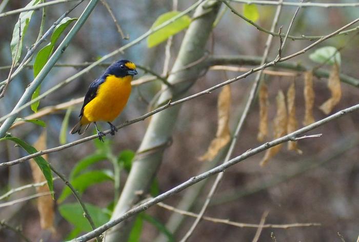 Black Rock Lodge   Belize   Yellow and purple bird at Black Rock Lodge in San Ignacio, Belize