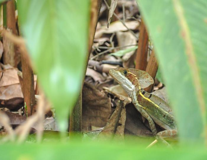 Black rock lodge   Belize   Lizards in the jungle of San Ignacio, Belize at the Black Rock Lodge