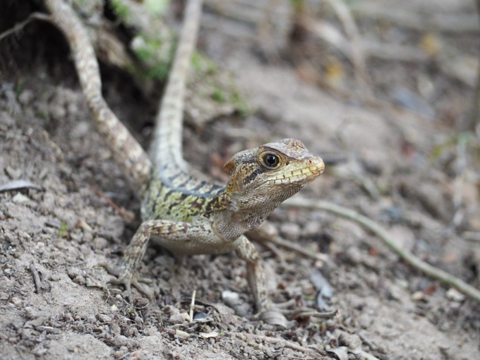Black Rock Lodge   Belize   Lizard spotting at Black Rock Lodge in San Ignacio, Belize