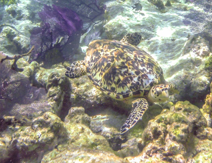 Snorkeling | Belize | Hawksbill sea turtle while snorkeling in Belize with Caye Caulker's Caveman Snorkeling Tours
