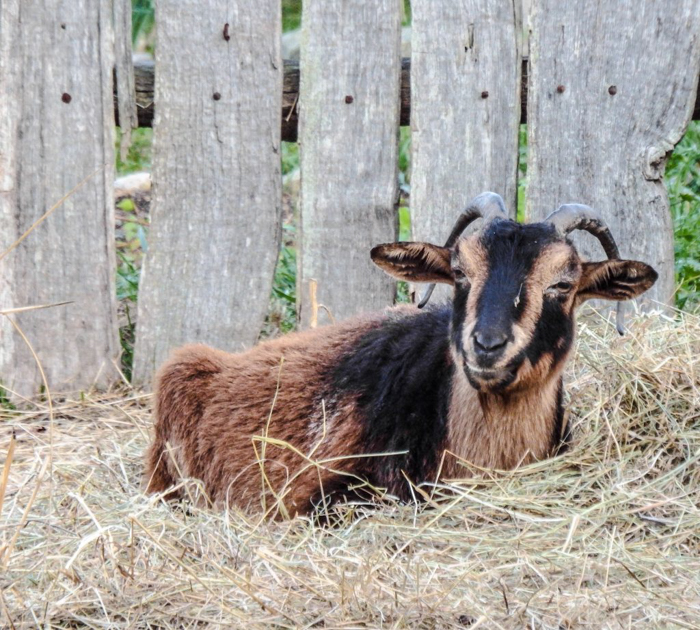 Goats at Plimoth Plantation after Thanksgiving dinner in Plymouth, Massachusetts -- just outside Boston