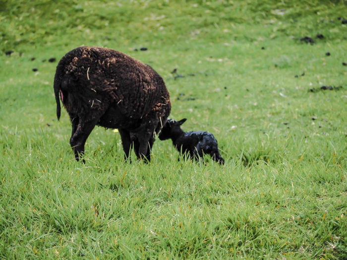 The best D-Day sites to visit in Normandy, France | WWII | WW2 | Pointe du Hoc | Baby sheep
