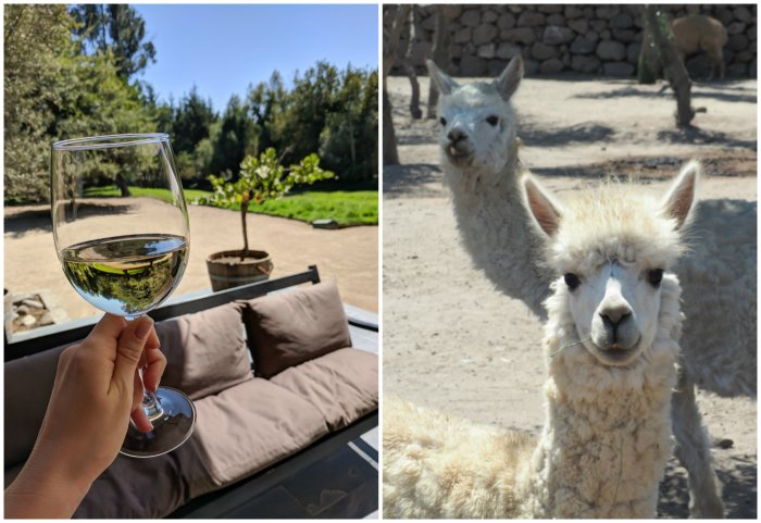 Alpacas and wine at Vina Emiliana winery | Wine Tasting in Chile: Casablanca vs. Maipo Valley | How to decide where to go wine tasting in Chile | Casablanca valley wineries | #chile #wine #winetasting #vineyard #emiliana #casablanca #alpaca