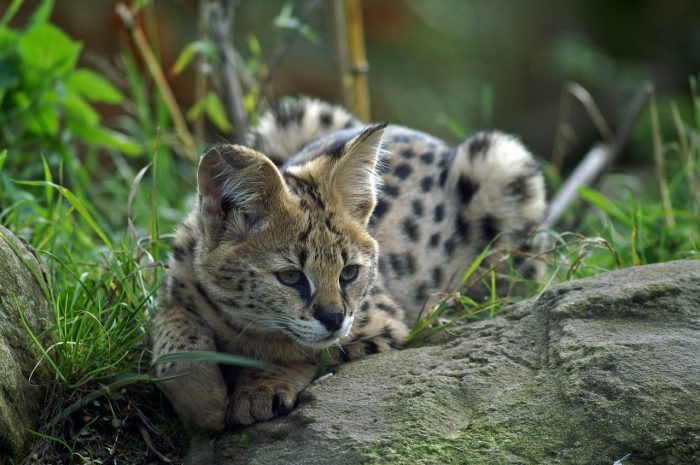 7 Terrific Tours to Take in Tampa, Florida   Big Cat Rescue sanctuary tour #serval #bigcats #animalsanctuary #tampa #florida