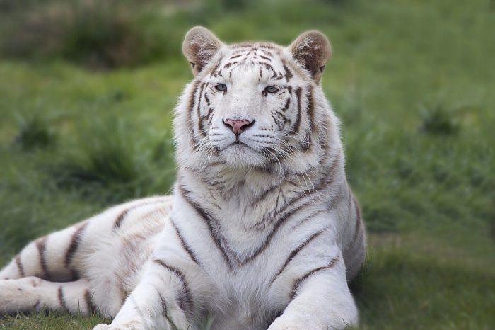 7 Terrific Tours to Take in Tampa, Florida | Big Cat Rescue sanctuary tour #tiger #bigcats #animalsanctuary #tampa #florida