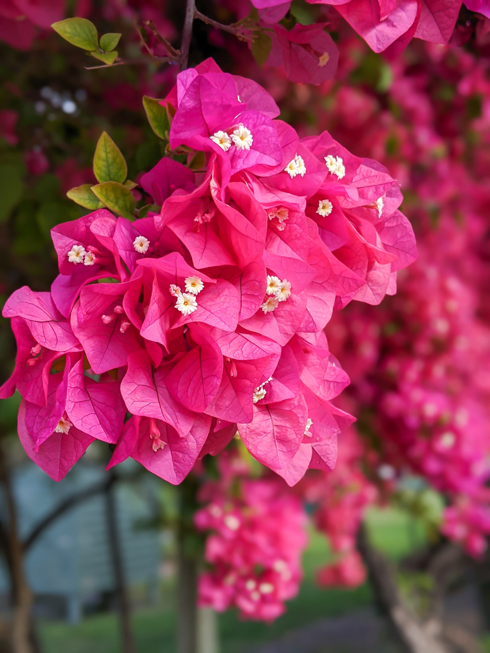 2 days in Fort Myers, Florida, a fun weekend itinerary: pink bougainvillea