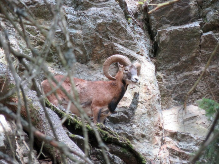 Awesome things to do in Chamonix in the summer: Alpine bucket list / Merlet Animal Park mouflon