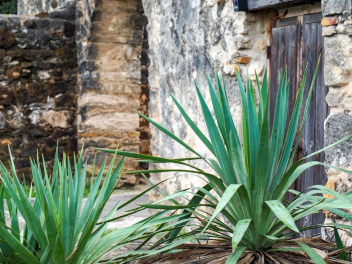 desert plant outside the historical sites in san antonio texas