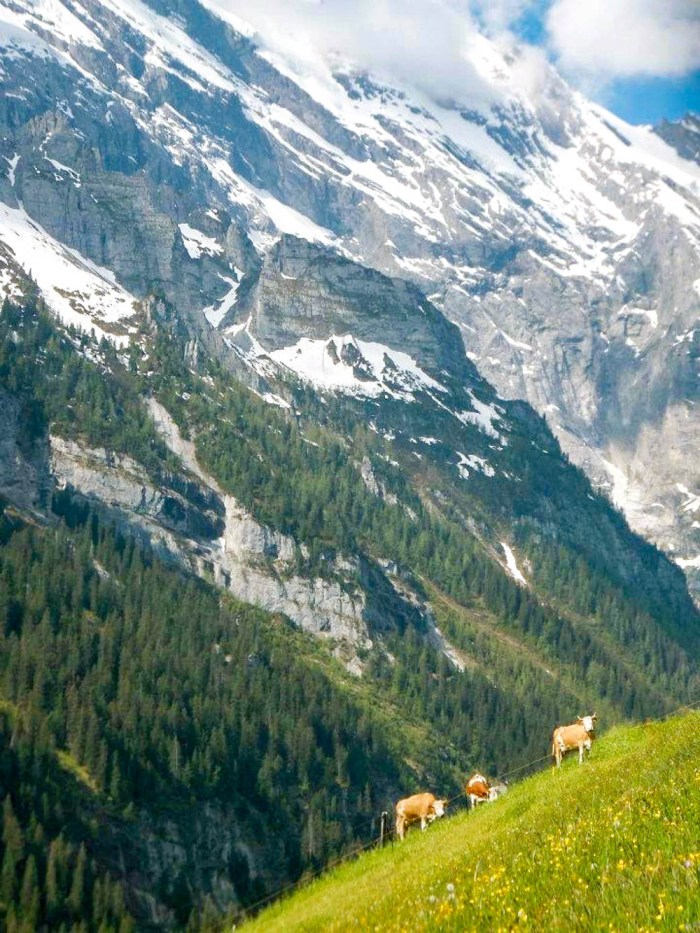 Mountain cows in the Swiss Alps | Where to stay in Gimmelwald, Switzerland: Mountain Hostels and B&Bs | Best places to stay in Gimmelwald