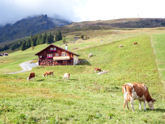 Mountain hut and cow in Swiss Alps | Where to stay in Gimmelwald, Switzerland: Mountain Hostels and B&Bs | Best places to stay in Gimmelwald