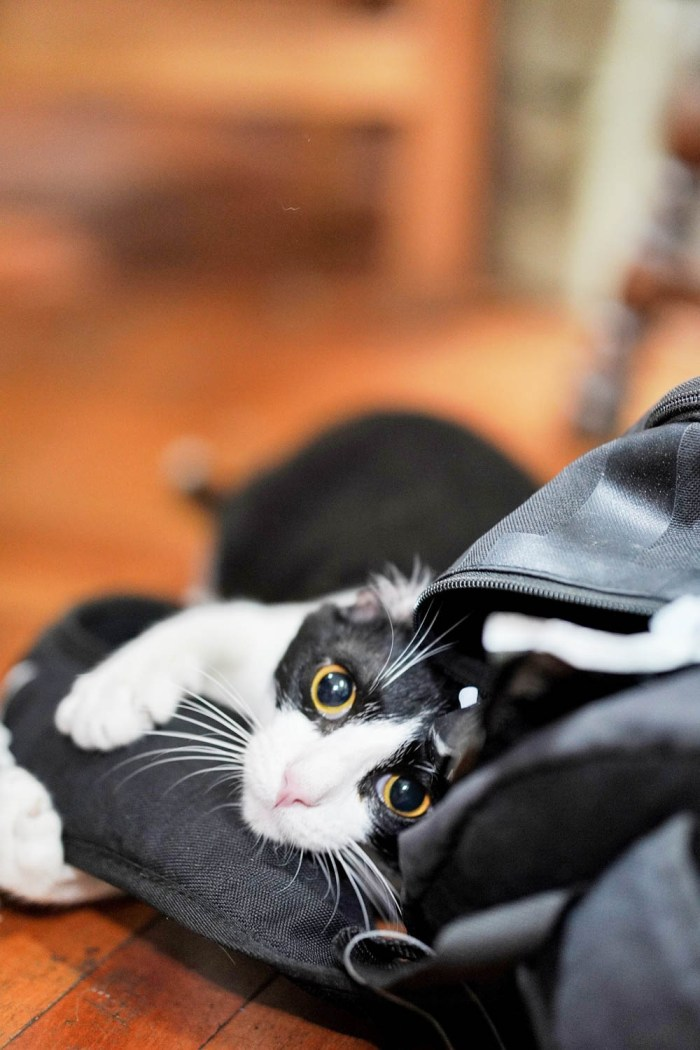 black and white cat in a black zippered bag