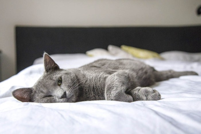 gray cat laying on a bed with white sheets