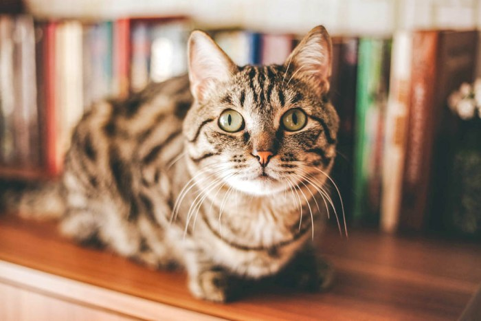 brown striped cat on a bookshelf