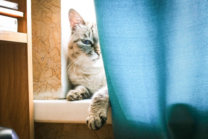 Gray and white cat in a window behind blue curtains
