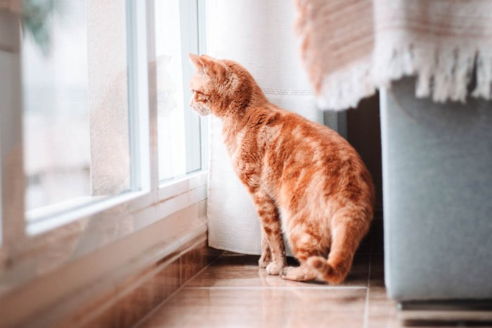 orange cat looking out a window