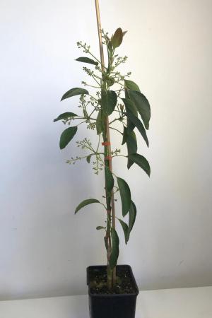 Pianta di Avocado in vaso - Elevata produttività - MyWLife