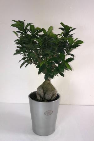 Vendita Bonsai Ginseng - Bonsai Ficus Ginseng in vendita su MyWLife.it