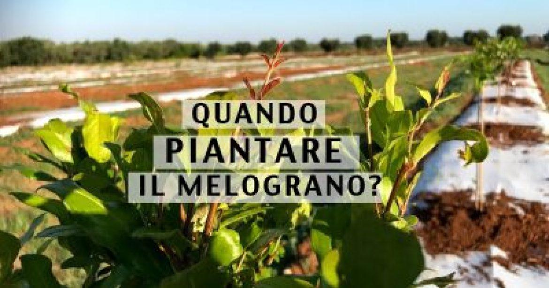quando piantare il melograno