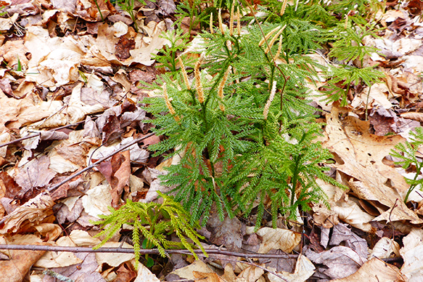 Plant growth opportunitie typical plants that are found on the forest floor include a variety of ferns, mangro. Ground Pine Clubmoss What S In A Name