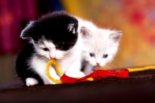 Kätzchen spielen
