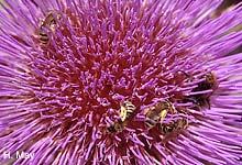 Wildbienen auf Artischocke