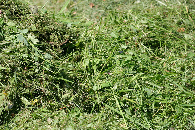 Als Mulch eignet sich der Rasenschnitt der letzten Mahd - Foto: Helge May