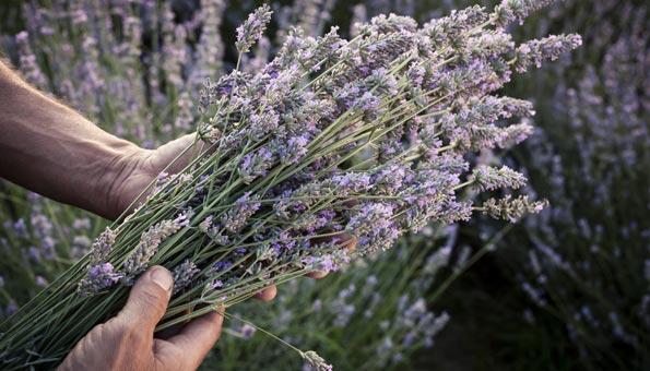 Lavendel: Wirkung und Verwendung der Heilpflanze in der Küche