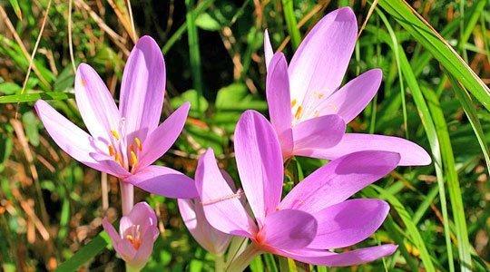 Herbstzeitlose pflanzen So erreichen Sie eine violette