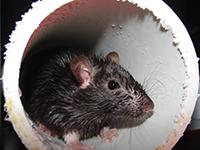 Rat in a PVC pipe