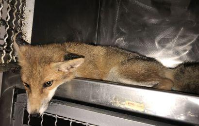 Fuchswelpe angefahren, durch Tierschutzverein und ärztliche Behandlung auf dem Weg der Besserung