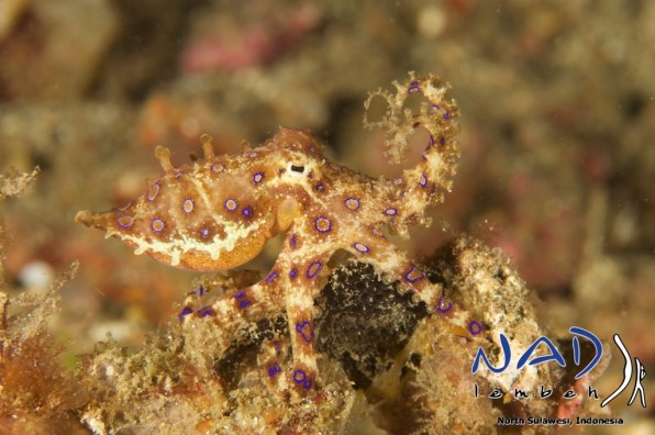 Blueringed-Octopus-Lembeh
