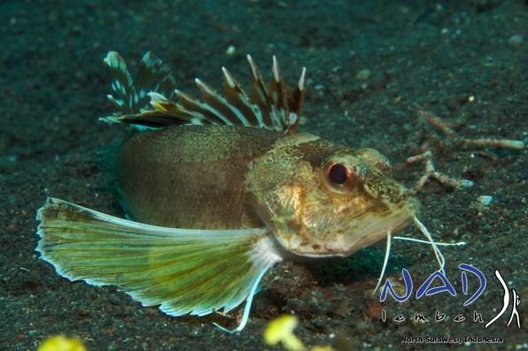 Lembeh-Creature-Longfin-Waspfish