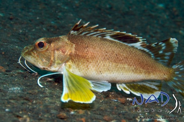 Lembeh-Creature-Longfin-Waspfish2