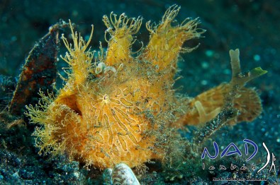 Lembeh-Hairy-Frogfish