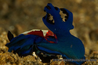 Emperor_Shrimp_Nudibranch