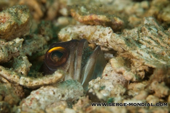 Jawfish_Eggs