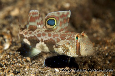 Twinspotgoby_Housereef
