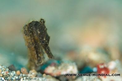 Seahorse-Lembeh