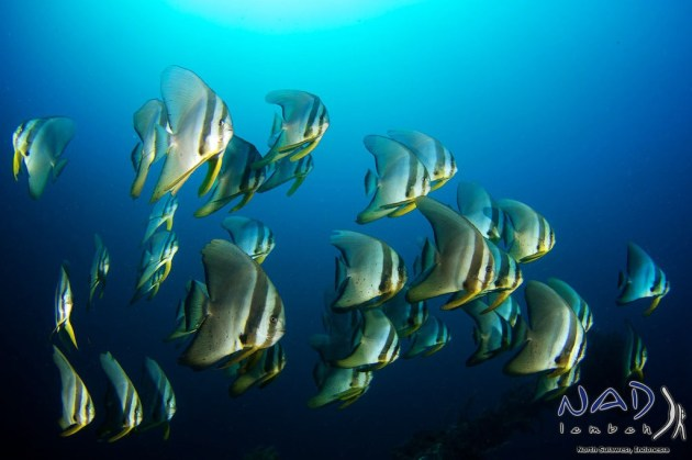 School of Batfish on top of the Wreck