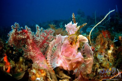 Rhinopias in the Soft Corals
