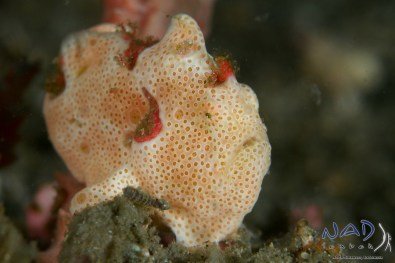 these bi-coloured juveniles are often confused with warty frogfishes