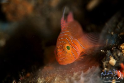 Priolepsis vexilla – ribbon reef goby hiding in rock crevices of the pinnacle