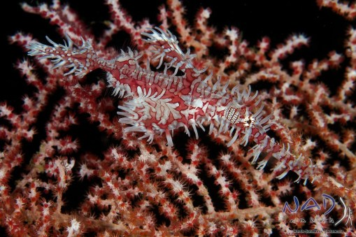 Red-White female camouflaged in front of a seafan