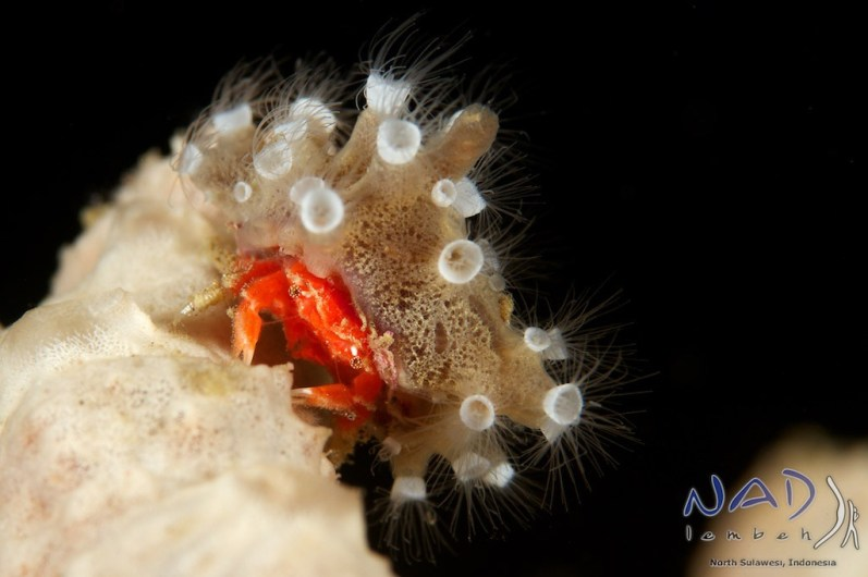 This Crabs sits exposed on a sponge and with a combi of strobe placement and the right angle its on black!
