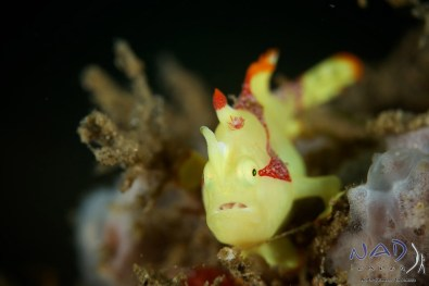 Yellow Clown Frogfish (Warty Frogfish juvenile)